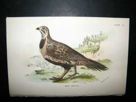 Allen 1890's Antique Bird Print. Sage Grouse